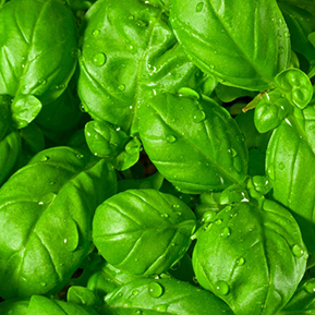 how to make basil olive oil