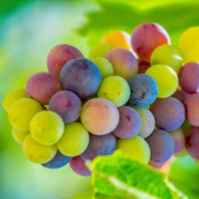 photodune-2678084-grapes-xs